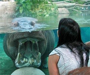 Hippopotamus at San Diego Zoo. [Photo Credit: LAtourist.com]