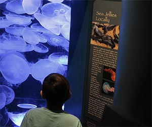 Sea Jellies at Aquarium of the Pacific in Long Beach. [Photo Credit: LAtourist.com]