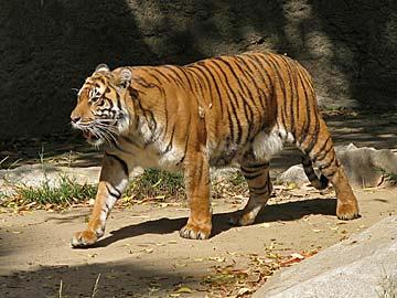 Tiger at the Los Angeles Zoo. [Photo Credit: LAtourist.com]