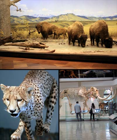 Exhibits at the Los Angeles County Museum of Natural History. Located in Exposition Park, near Downtown Los Angeles. [Photo Credit: LAtourist.com]