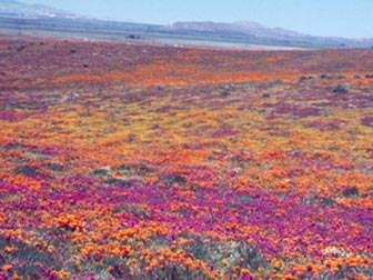 Poppies at the Antelope Valley California Poppy Preserve. [Photo Credit: LAtourist.com]