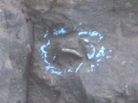 A fossil embedded in the tar at Project 23 has been marked to facilitate the excavation. [Photo Credit: LAtourist.com]